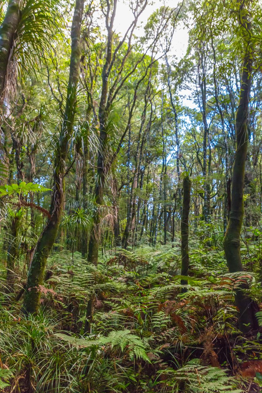 Neuseeland - Nordinsel - Westküste - Traunson Kauri Park