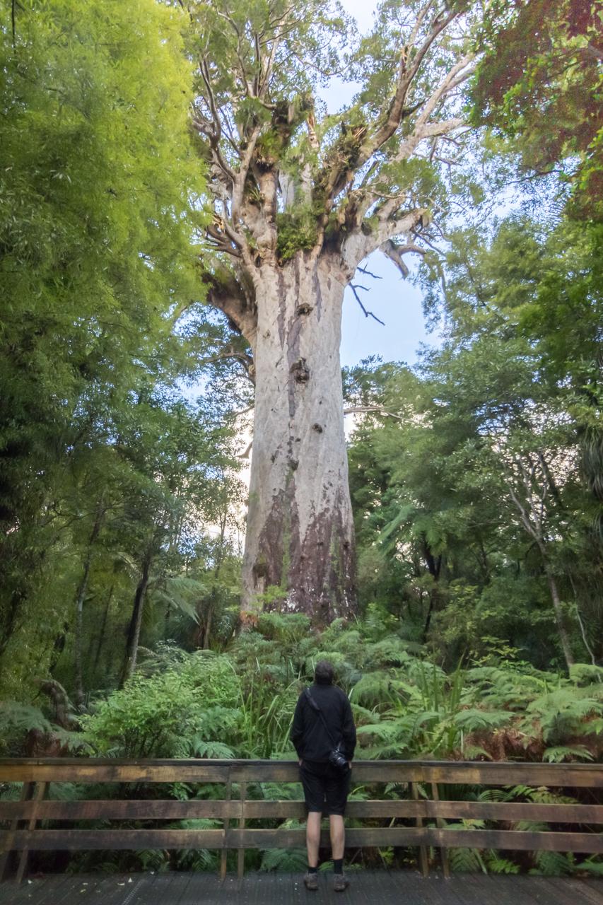 Neuseeland - Nordinsel  Waipua Forest - Tane Mahuta, Herr des Waldes, größter noch lebender Kauribaum in NZ
