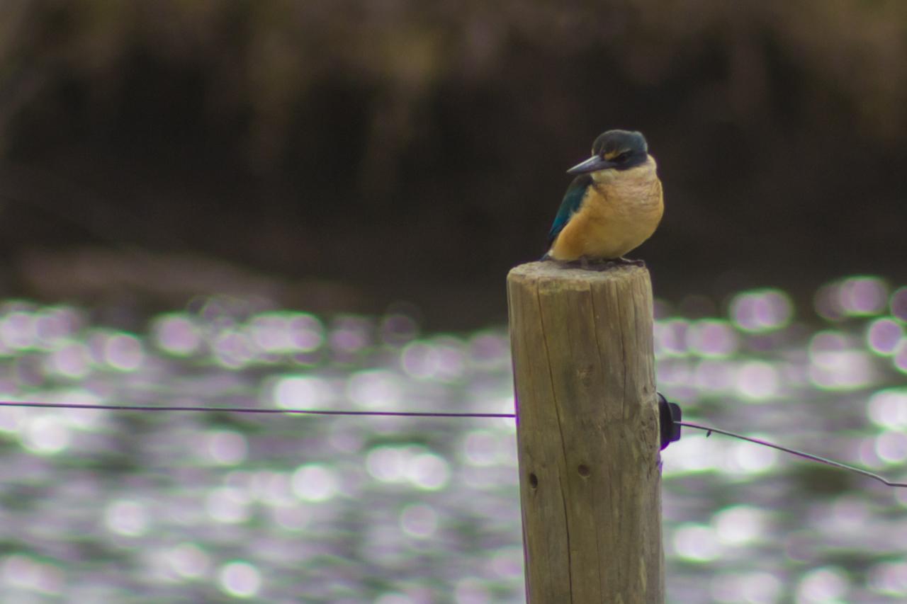 Neuseeland - Great Barrier Island - Kingfisher