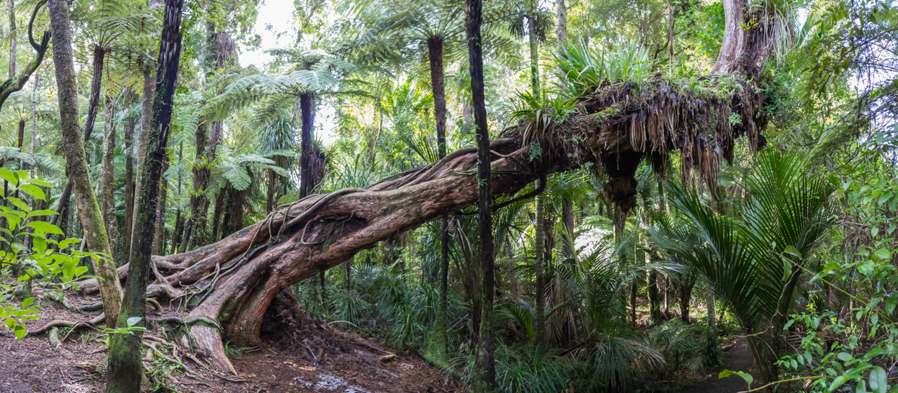 Neuseeland - Auckland Region - Waitakere Ranges - Cascade Kauri Park