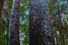 Neuseeland - Nordinsel  Waipua Forest - Four Sisters, 4 Kauribäume eng zusammen.