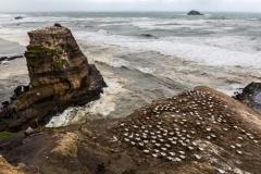 Neuseeland - Nordinsel - Westküste nahe Auckland - bei der Morus (Gannet) Kolonie in Muriwai