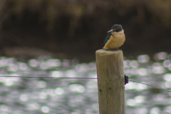 Neuseeland - Great Barrier Island - Kingfisher