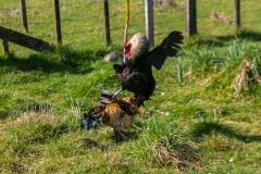 Neuseeland - Nordinsel - Manawatu Scenic Route - Tiere am Straßenrand, auch mal ein Hahnenkampf :-)