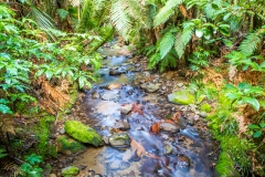 Neuseeland - Nordinsel - Coromandel - Waiau Kauri Grove