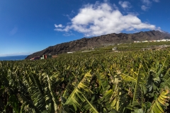 La Palma - Bananenfeld bei Tazacorte