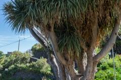 La Palma - Drachenbaum