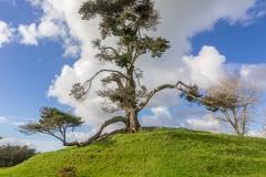 Auckland - Cornwall Park und One Tree Hill - der schönste Baum :-)