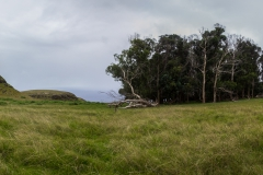 Osterinsel: am Vulkan Puakatike/Poike - was man auf der Osterinsel eben so Wald nennt