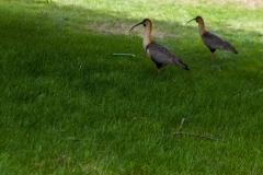 El Calafate ist voller komischer Vögel