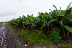 Ecuador - Tren de la Dulzura - Bananen-Plantage