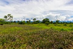 Ecuador - Tren de la Dulzura - Ananas-Feld