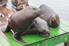 Von den Seelöwen gibt es hier richtig viele.