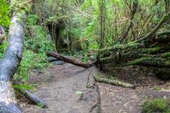 Saltos del Petrohué - der umgebende Wald ist dicht bewachsen
