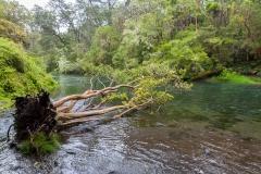 Saltos del Petrohué - der Baum hätte da sonst nicht mehr gelegen