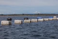 Chiloé - Cailin - Unterwegs vorbei an Muschelfarmen