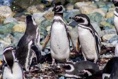 Isla Magdalena - ... ca. 500 Fotos von Pinguinen gemacht.
