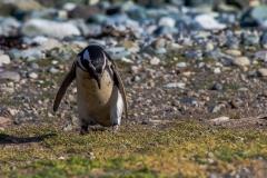 Die Pinguine auf der Isla Magdalena nahe Punta Arenas