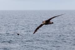 Riesensturmvögel begleiten uns