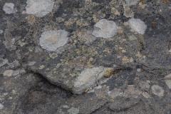 West Point Island - Flechte auf den kargen Steinboden