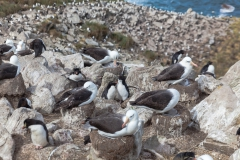 West Point Island - Felsenpinguine zwischen den Albatrossen