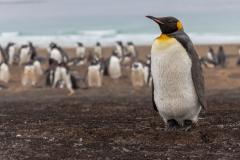 Saunders Island - der erste Königspinguin