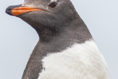 Saunders Island - Eselspinguin