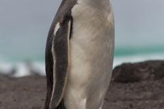 Saunders Island - und noch ein Eselspinguin