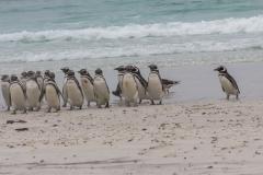 Saunders Island - noch mehr Pinguine
