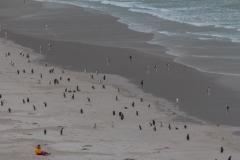 Saunders Island - warten auf näher kommende Pinguine