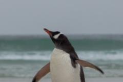 Saunders Island - Pinguine kann man nicht oft genug fotografieren :-)