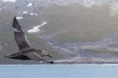 Right Whale Bay: Riesensturmvogel