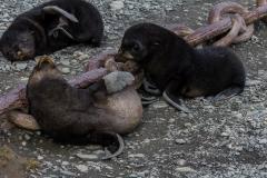 Seebären bei Stromness Harbour