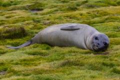 Stromness Harbour: See-Elefanten sind putzig :-)