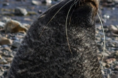 Stromness Harbour: Seebär