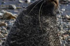 Stromness Harbour: Seebär