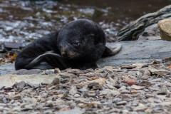 Grytviken: auch hier sind die Tiere zurück