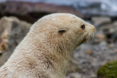 einer von tausend Seebären ist weiß