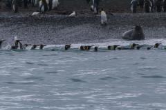 St. Andrew's Bay - Pinguine gehen in Gruppen ins Wasser