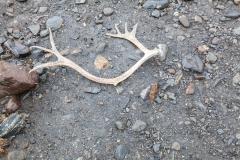 St. Andrew's Bay - Überreste der Rentiere