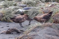 Gold Harbour - Pinguinfuß zu Mittag