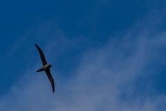 Cooper Bay - riesige Albatrosse