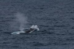 Finnwale um der Ocean Diamond