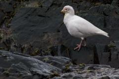 Point Wild, Elephant Island: Schneesturmvogel