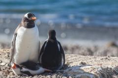 Brown Bluff: Pinguin mit Nachwuchs