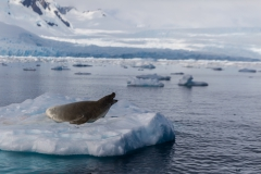 Cierva Cove: See-Leopard auf Eis-Scholle
