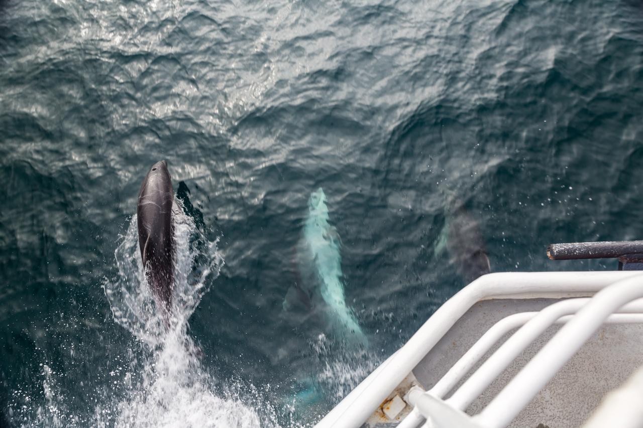Neuseeland - Sealinkfähre zur Great Barrier Island - Delphine begleiten uns