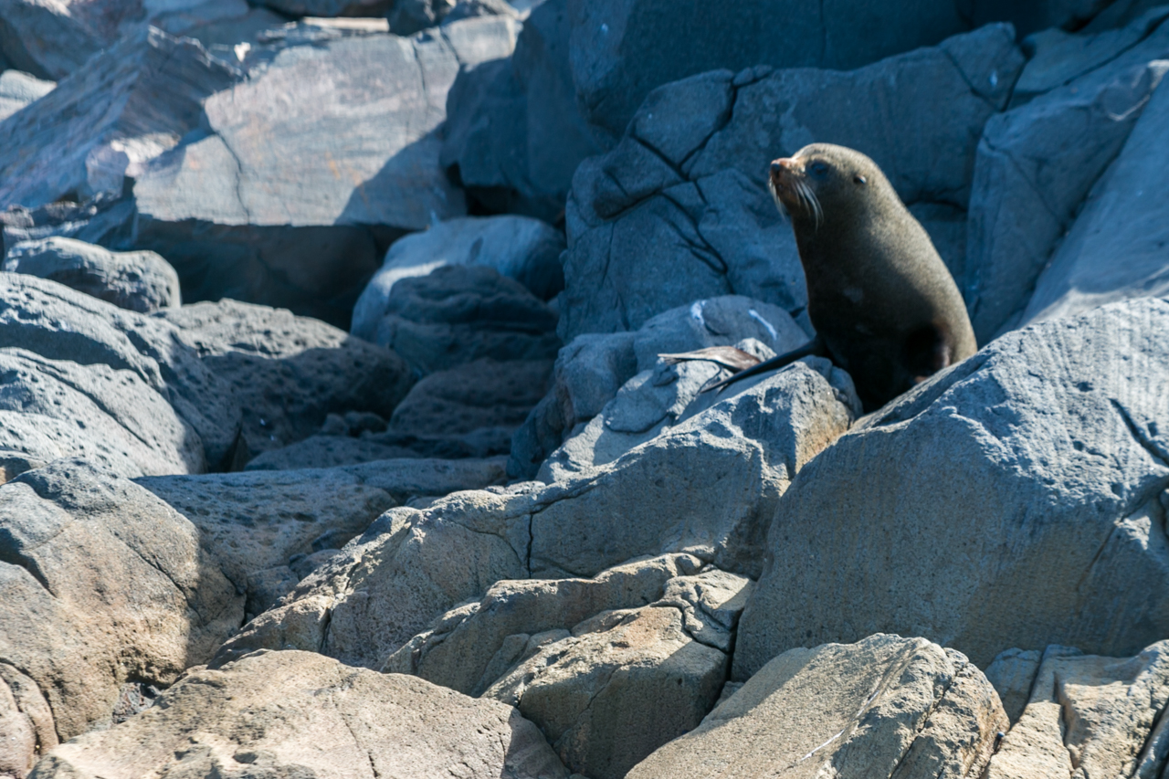 Neuseeland - Nordinsel - Ostküste - White Island, Fur Seal