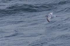 Mit der Ocean Diamond von den  Falklandinseln nach Südgeorgien