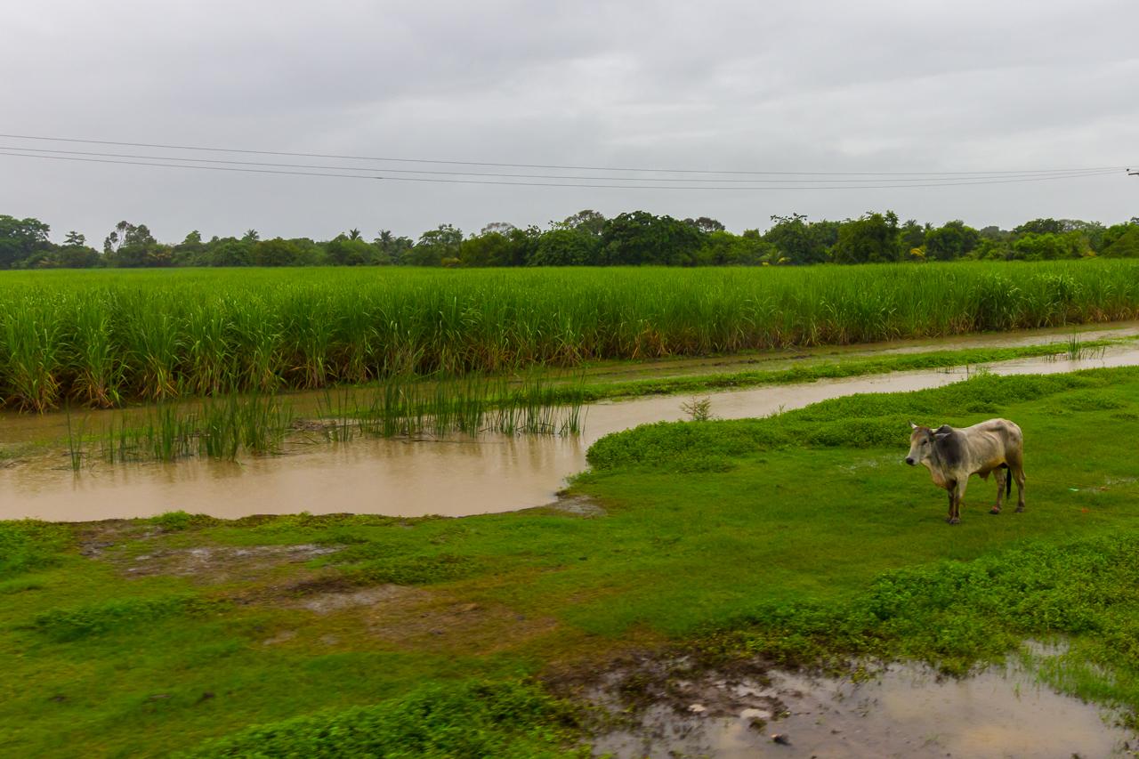 Ecuador - Tren de la Dulzura - Zuckerrohr-Felder
